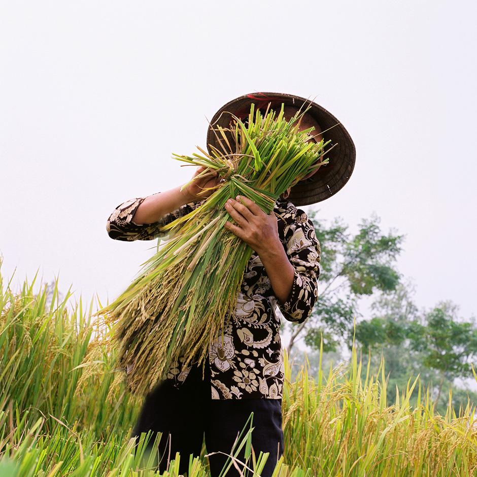Vietnam - Rural life - Woman harvesting paddy rice in Phu Vinh village