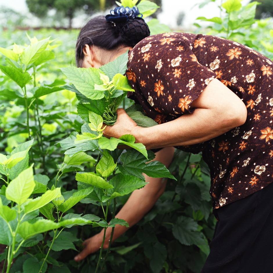 Vietnam - Craft villages - A woman picks mulberry leaves to feed silkworms in Chi Dong village