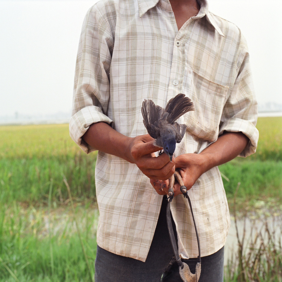 Vietnam - Rural life - A boy holds a blue bird that he has caught using a catapult in a rice field